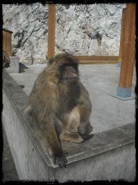 Macaco de Berberia.JPG